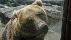 Варненска фирма платила осигуровките на мъжа, нападнат от мечка в гората