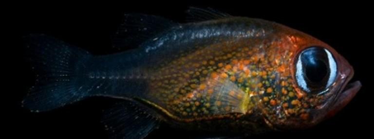 Рибата с котешки очи
