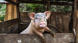Регистрират домашни свине като първа мярка срещу африканската чума