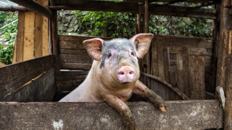 Нови 6 огнища на Африканска чума по свинете