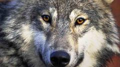 Вълци разкъсаха 7 телета, 4 коня и 9 овце