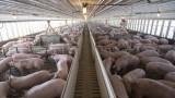 Африканската чума засегна пети свинекомплекс в страната