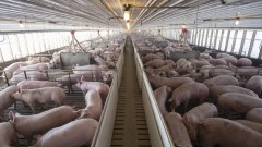 Африканска чума в трета ферма в Русенско